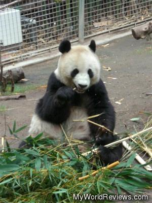 This hungry panda bear ate all day