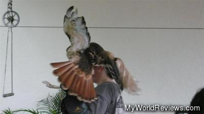 A red-tailed hawk during a bird show
