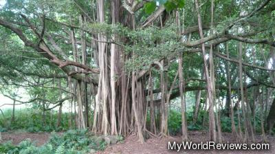 A banyan tree at the base of Haleakala National Park (just past Hana)
